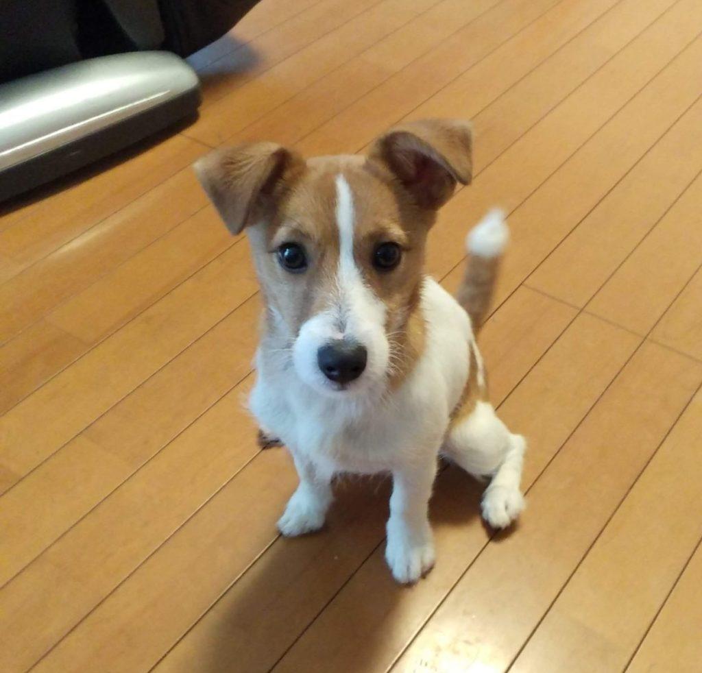 東海市、ジャックラッセルテリア出張トレーニング | 犬のしつけ 問題行動の改善 愛知県 ドッグスルーム